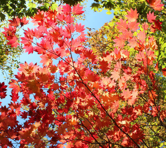 Acer_japonicum_Red_leaves_660px
