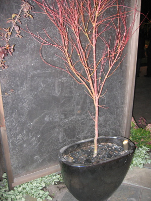 Coral_Bark_Maple_300px